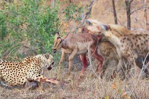 Đang say sưa chén mồi, báo săn bị linh cẩu 'nẫng tay trên'