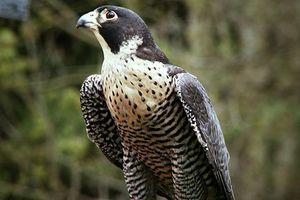 Độc đáo loài chim mệnh danh 'chiến đấu cơ', nhanh nhất hành tinh