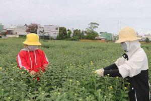 Sinh viên kiếm thêm thu nhập từ việc ngắt nụ hoa Tết