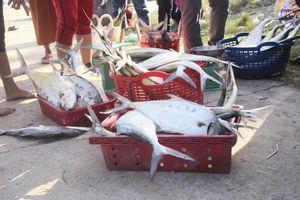 Ngư dân được mùa cá bè xước những ngày giáp tết