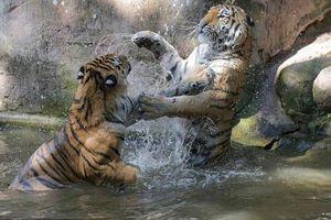 Ảnh động vật: Cặp hổ dữ đánh nhau ác liệt dưới nước