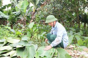 Nhộn nhịp làng lá dong Tràng Cát ngày cận Tết