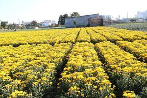 Chiêm ngưỡng cánh đồng cúc vàng đẹp mê mải chờ đón Tết ở Ninh Thuận