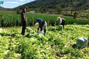 Nhà vườn ở Lâm Đồng mất Tết vì rau rớt giá