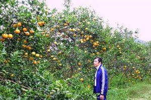 Huyện lúa Yên Thành mùa cam chín