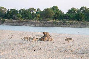 Đứng tim cảnh voi trẻ đơn độc đánh bật 12 sư tử