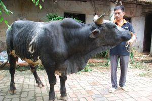 Hà Nội: Hiệu quả cao từ Dự án lai tạo bò thịt BBB chất lượng cao