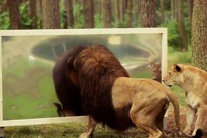 Phản ứng bất ngờ của sư tử với hình ảnh phản chiếu trong gương