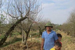 Hải Phòng: Đào cổ thụ Đồng Dụ sẵn sàng chào Tết