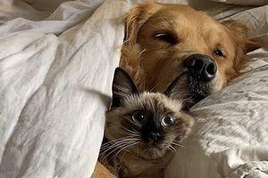 Phản ứng của chú mèo khi chung chăn với chó