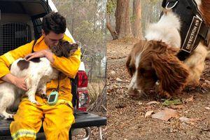 Chú chó là cứu tinh của gấu koala trong thảm họa cháy rừng ở Australia
