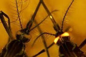 Lai tạo được loài muỗi có khả năng chống nhiễm vi rút sốt xuất huyết