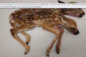 Phát hiện xác hươu hai đầu trong rừng Minesota, Mỹ