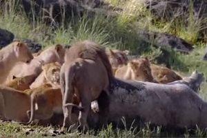 CLIP: Cá sấu cướp mồi của đàn sư tử và cái kết