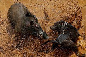CLIP: 'Mãn nhãn' trước những pha tử chiến 'máu lửa' bậc nhất của lợn rừng