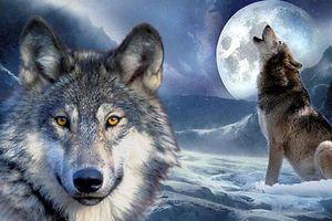Chó hóa sói thế nào, cầu tự sát của chó nằm ở đâu?