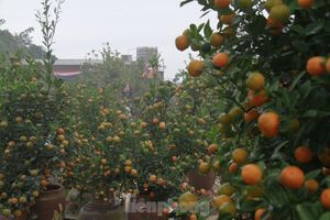 Lạc vào 'vương quốc' quất cảnh ở Hà Nội