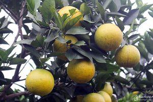 Nông dân Nghệ An ứng dụng công nghệ cao vào sản xuất cam