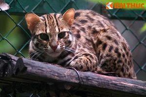 Tận mục đàn mèo rừng Việt Nam 'siêu ngầu', cực đẹp