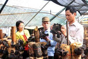 Mô hình trồng nấm mộc nhĩ đen cho kết quả khả quan
