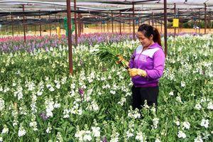 Nhiều loài hoa mới Đà Lạt được tung ra thị trường Tết