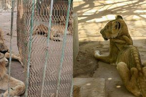 Choáng với hình ảnh đàn sư tử trơ xương trong sở thú Sudan