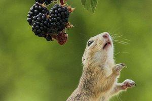 Cầy thảo nguyên dùng 'khinh công' kiếm thức ăn