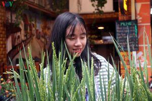 Tết Canh Tý: Lúa nếp cảnh xuống phố chợ hoa cổ nhất Hà Nội