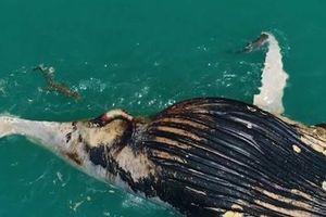 Cá sấu nước mặn cùng cá mập chén thịt cá voi
