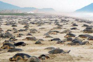 Hàng nghìn con rùa Golfinas 'đổ bộ' vào bờ biển Mexico