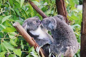 Clip: Gấu đực koala tấn công 'bạn tình' vì không được yêu