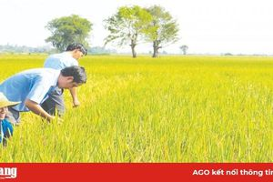 Gieo hy vọng trên những đồng lúa sạch