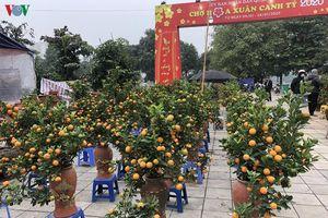 Quất cảnh mini 'cháy hàng' tại chợ Tết ở Hà Nội