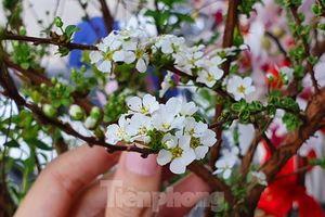 Độc đáo 'hoa nghìn nụ' được người dân đất Cảng săn đón dịp tết