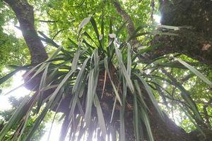 Những chuyện chưa biết về cây thị hơn 300 năm tuổi ở TP. Huế