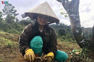 Người Xơ đăng ở Kon Tum trở thành tỷ phú nhờ trồng cây dược liệu