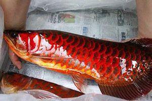 Bí ẩn loài cá thiêng có vẩy đỏ như máu người ở Biển Hồ