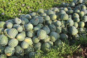 Nông dân trồng dưa hấu Tết phấn khởi vì trúng mùa trúng giá