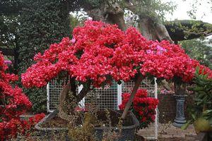 Bonsai hoa giấy Thái Lan hồng rực, giá chục triệu vẫn hút khách Hà thành