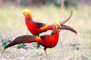 Độc đáo chim trĩ 7 màu quý hiếm, giới chơi chim Việt mê mẩn