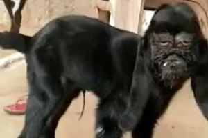 Kỳ lạ con dê mang khuôn mặt người đau khổ ở Ấn Độ