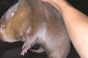 Tết ấm no nhờ nuôi… chuột khổng lồ