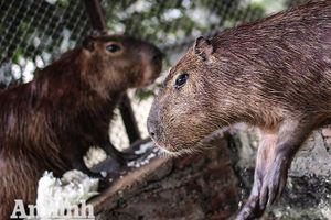 Đầu năm Tý xem chuột khổng lồ nặng đến 100kg nhưng đặc biệt hiền lành ở Hà Nội