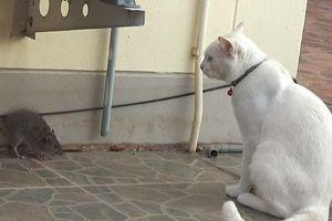 Chuột với mèo chạm trán ngay đầu năm mới và cái kết bất ngờ