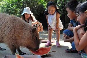 Chiêm ngưỡng chuột khổng lồ nặng đến 50kg tại Hà Nội