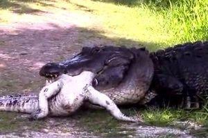 Kinh hãi trước cảnh cá sấu 'ăn tươi nuốt sống' đồng loại
