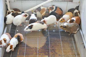 Những đàn chuột 'hiến xác' cho khoa học