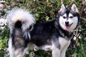 25 giống chó lạ, độc, hiếm gặp trên thế giới