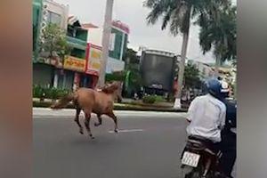 Ngựa chạy rông ở đường phố Đà Nẵng
