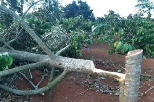 Xót xa cảnh vườn sầu riêng của một nông dân Đắk Lắk bị chặt phá ngày Tết